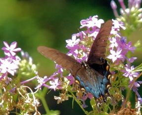 Butterflies abound among the many wildflowers