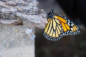 A Monarch shortly after emerging from its Chrysalis (visible to the left of the butterfly)