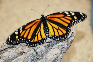 Monarch just hours after emerging from it chrysalis