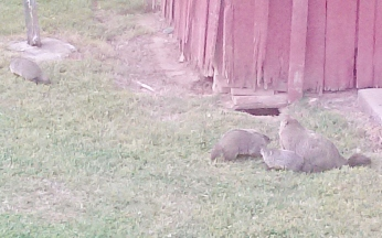 groundhogs, family, woodchucks