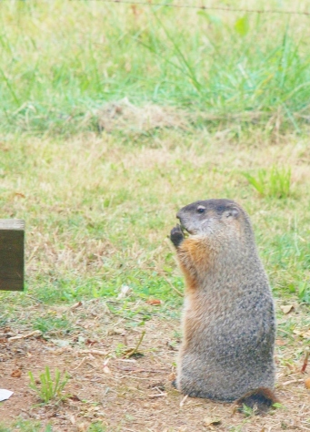 groundhog, Tennessee, apple, upright