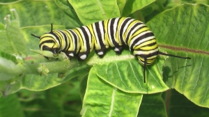 A Fifth Instar Monarch Caterpillar—head to the left (Photo: Source Letting milkweed grow  https://cindyha.wordpress.com/)