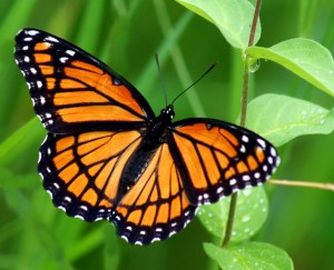 The Viceroy mimics the Monarch. (Note the curved band across the veins in the wings)