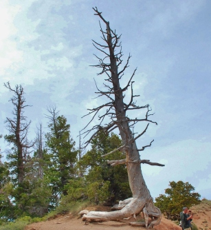 Many trees around the Rim of the Canyon show signs of being struck by Lightning